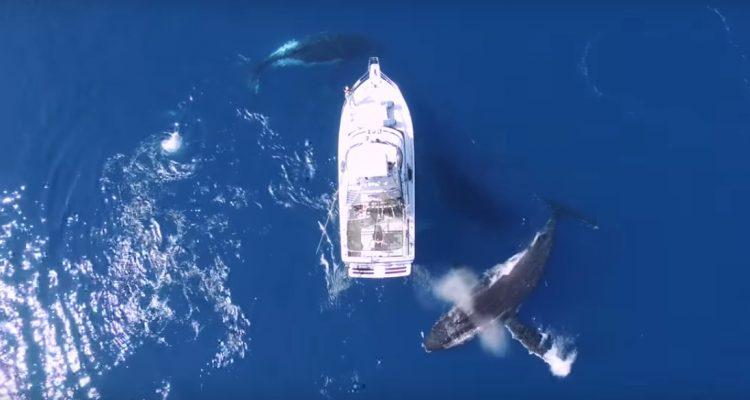 Baleines balet dansantes a bosse aquatique drone