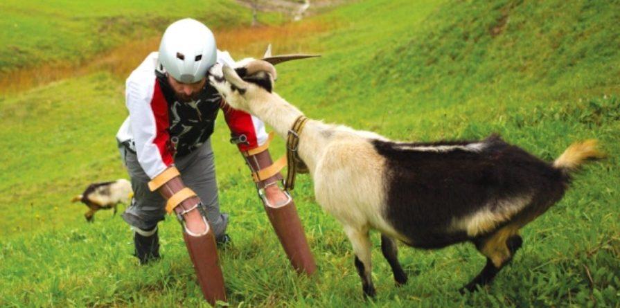 ignobel 2016 vivre comme une chèvre prothèse