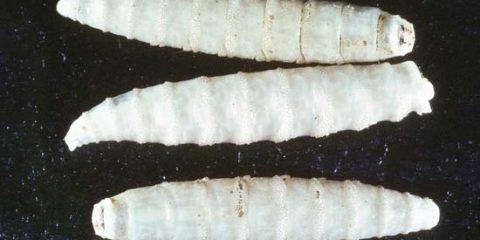 lucilie bouchère larve