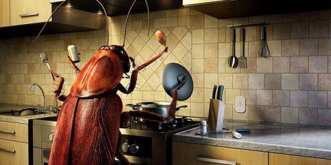 cafard insecte infestatino