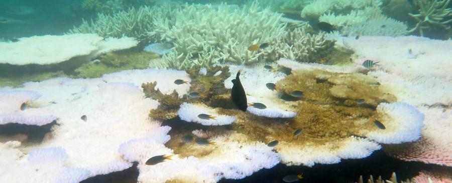 blanchissement corail phase terminale grande barriere algues