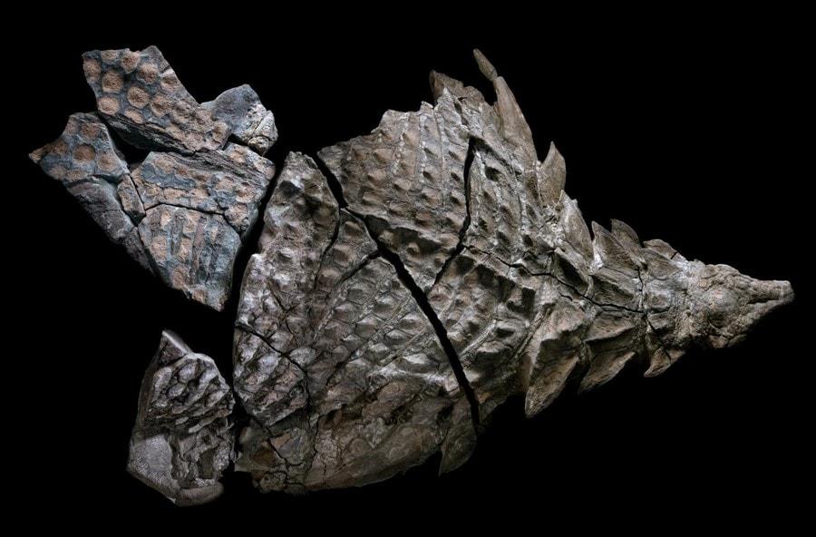 fossile nodosaure conserve dinosaure ecailles