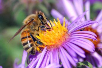 abeilles pollinisation pesticide extinction environnement