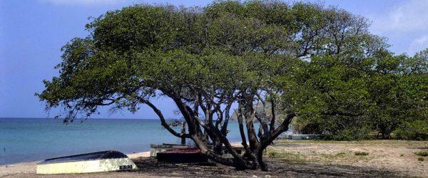 arbre toxique dangereux
