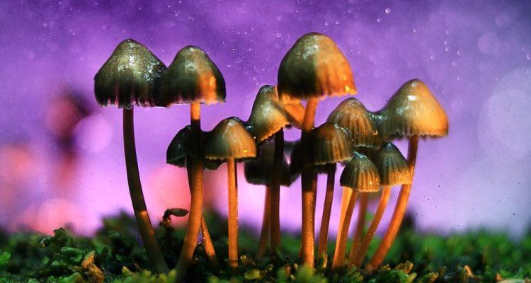 champignon magique hallucinogène médicament efficace cerveau effet
