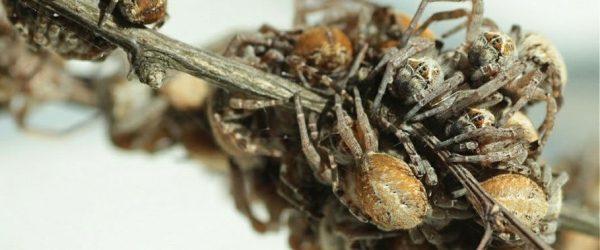 araignee mere sacrifice nourriture comportement evolution evolutif