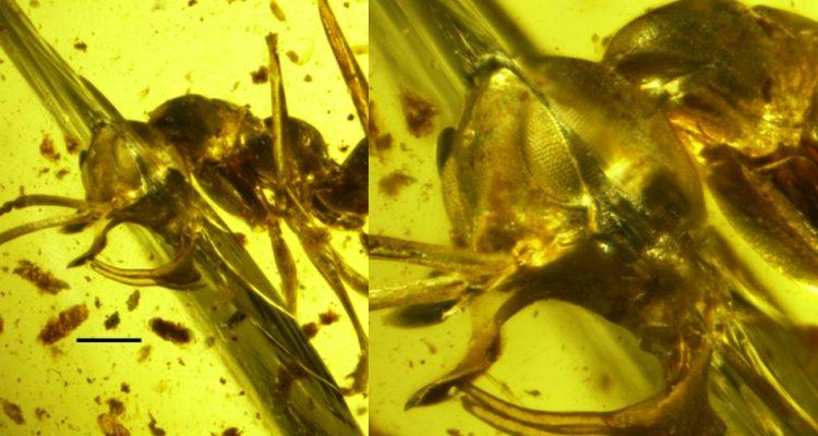 fourmi vampire aspirer sang corne metallique lance empaler ennemis proie