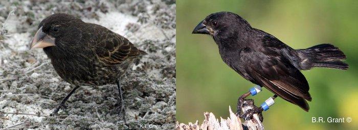 galapagos iles oiseau big bird espece nouvelle