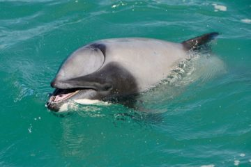 dauphin appris respirer par la bouche évent bloqué fermé survivre capacité adaptation biologie marine