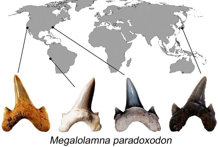 nouveau type de requin prehistorique megalodon