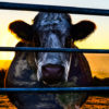 reportages nourriture viande cowspiracy