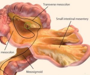mesentere organe estomac medecine anatomie