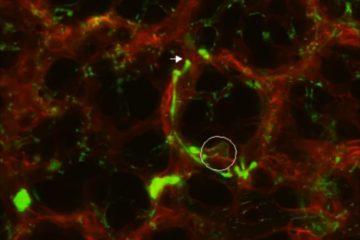 poumons fonction pulmonaire plaquettes sanguines production sang