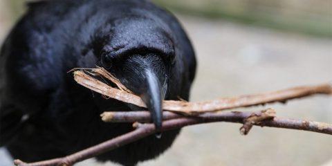 corbeaux oiseau intelligence mémoire