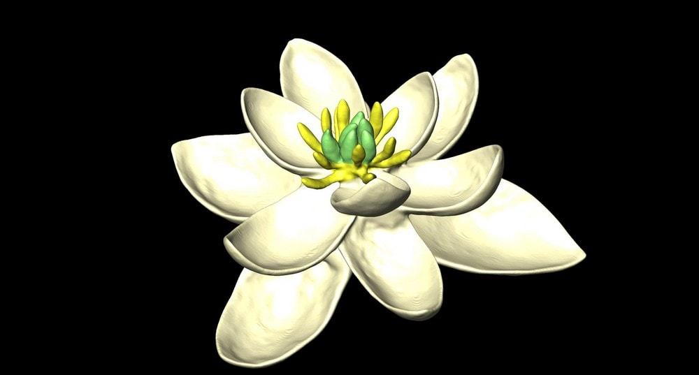 fleur premiere reconstruction decouverte