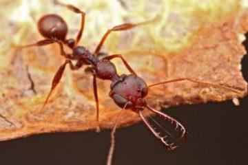 fourmis mandibule machoire piège