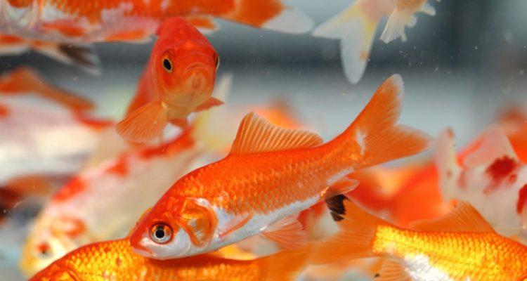 poissons rouge ethanol alcool production eau non oxygenée