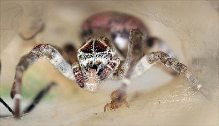 araignée nourriture cannibalisme sacrifice des femelles évolution