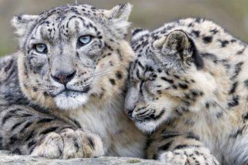 leopard des neiges espece menacee en voie de disparition