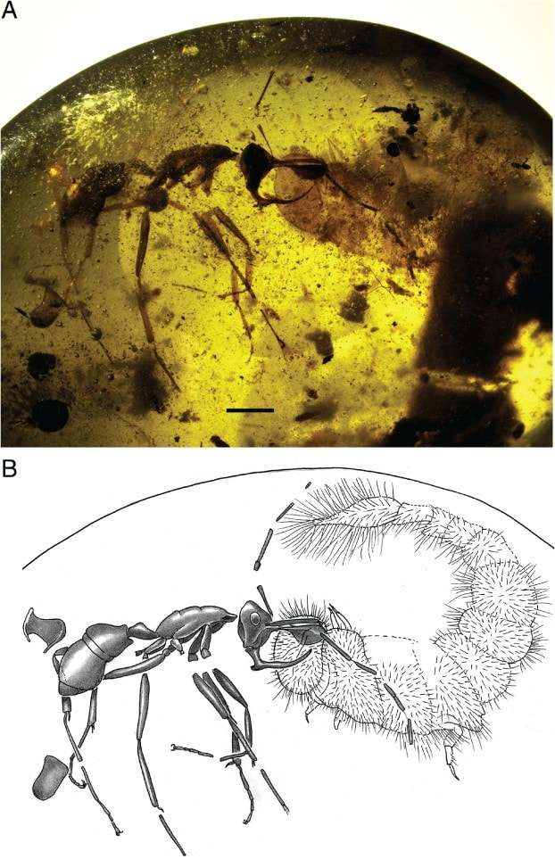 machoire fourmi vampire aspire sang lance métal metallique schéma