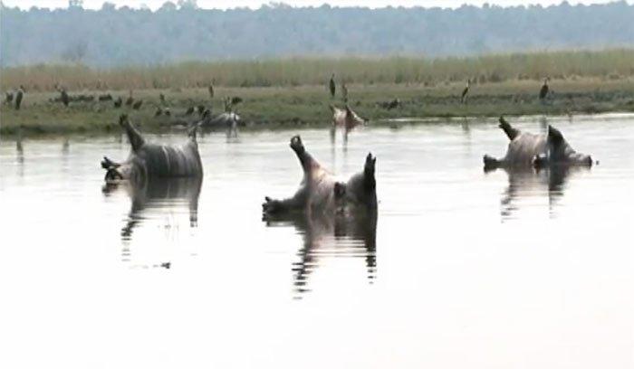 hippopotames morts namibie maladie fièvre charbonneuse charbon