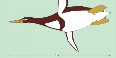 ancien pinguin manchot géant colossal paléocène nouvelle zélande ossements