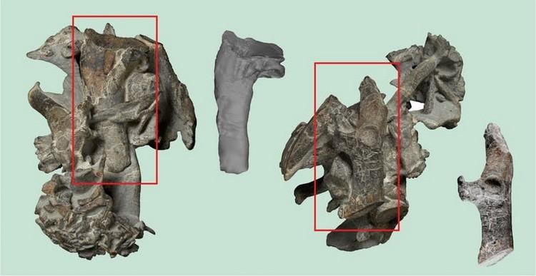 ossements manchot colossal géant nouvelle zélande paléocène