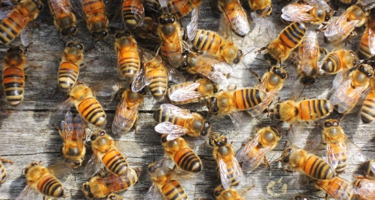 abeilles ruches environnement pollinisateurs