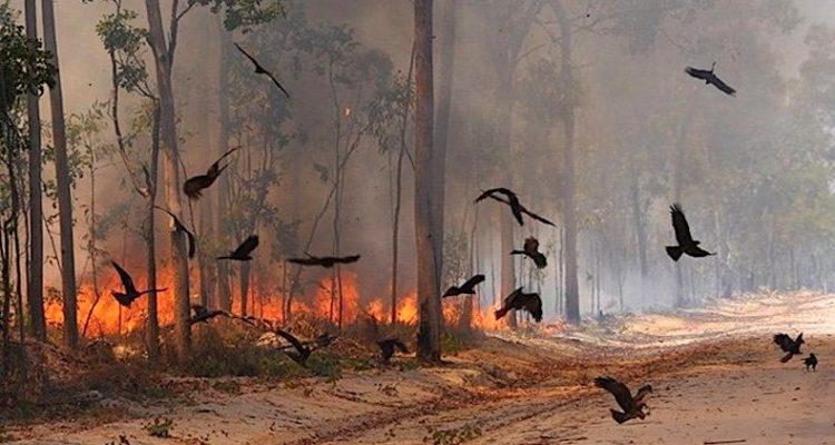 feu pyromane oiseau proie rapace incendie foret australie australienne