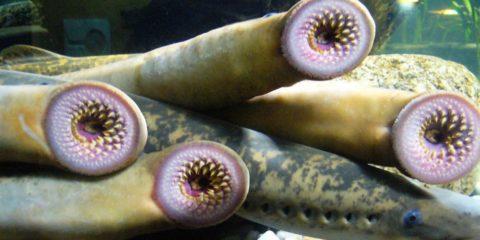lamproie gene moelle epiniere guerison poisson humain paralysie