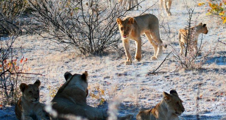 lion tribu afrique du sud braconnage