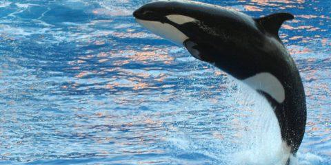orque mammifère marin apprentissage vocal