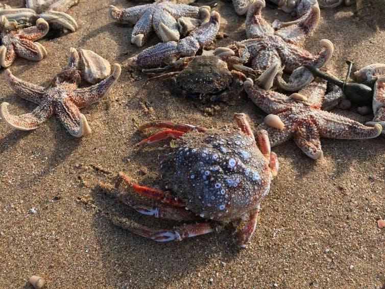 étoile de mer mollusque crabes vie marine marées basses températures extreme tempête vents échouage