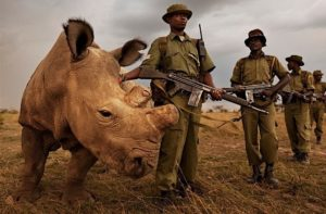 gardes armees protegent rhinoceros blanc nord sudan