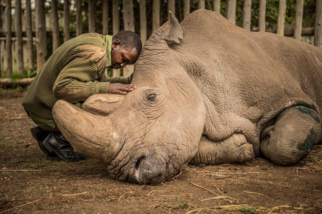 joseph conforte sudan rhinoceros blanc