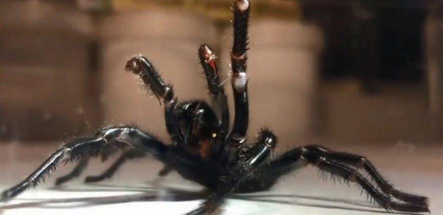 parc reptiles araignées atrax robustus venin antidote antivenin