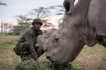 sudan rhinocéros blanc du nord mort extinction espèce