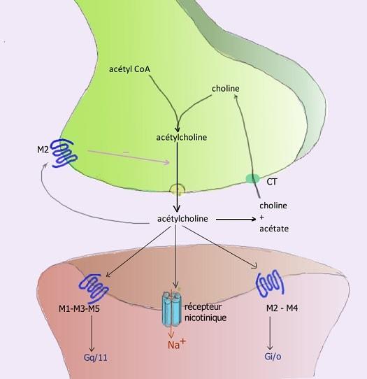 ach neurone
