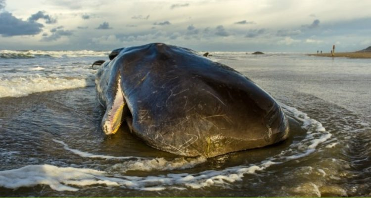 baleine echouee
