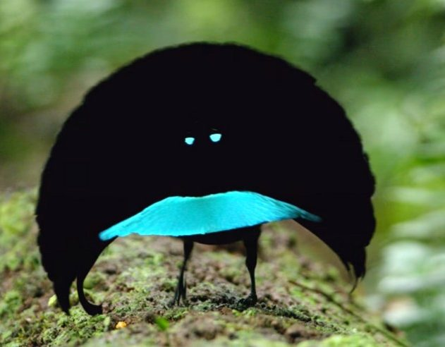 oiseau paradis paradisier couleur mouvement danse parade nuptiale