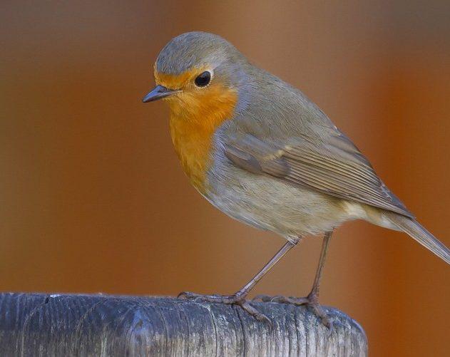 rouge gorge oiseau champ magnétique vision magnétoréception