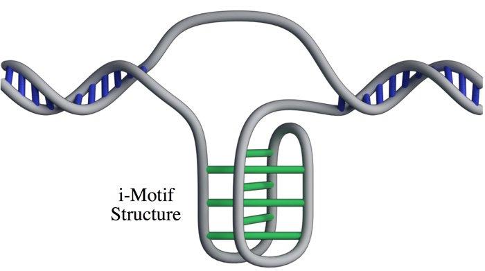 structure motif imotif i-motif adn cellule cellules humaines