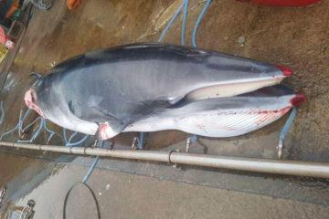 baleine morte chasse japon baleinier