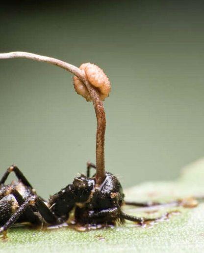 cordyceps fourmis insectes parasites cerveau