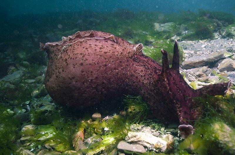 escargot mer