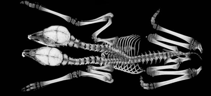 faon deux tetes squelette organes jumeaux siamois