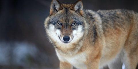 loup louve femelle morte abattue chasseur danemark denmark