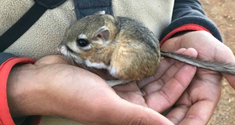 rat kangourou espèce disparition espoir nature agriculture