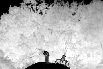 araignee crabe parachute