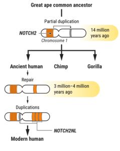 chromosome duplication genes NOTCH2